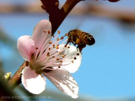Bee fruit tree blossom