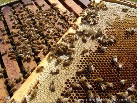 worker bees frame hive